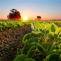 Soybean field and soy plants in early morning. Soy agriculture