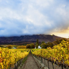 Rows of Vineyards grow in this picturesque valley near Cape Town. This wine farm can be found south of the city in the Constantia valley situated at the foot of the Constantia mountain.